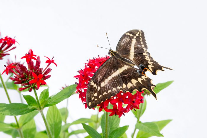 A Schaus' Swallowtail (Heraclides aristodemus ponceanus) drinks nectar from a pentas plant (Pentas lanceolata) at the McGuire Center for Lepidoptera and Biodiversity.