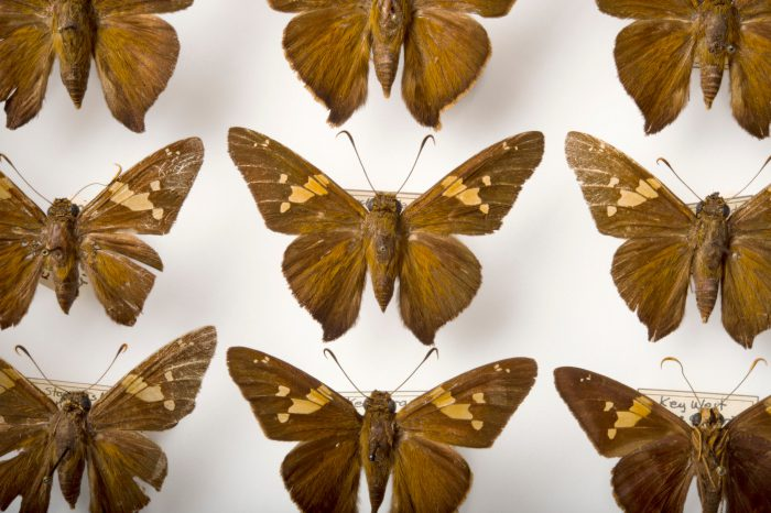 Picture of Zestos skippers (Epargyreus zestos) at the McGuire Center for Lepidoptera and Biodiversity.