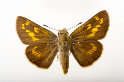 Picture of an extinct rockland skipper (mounted on pins) (Hesperia meskei pinocayo) at the McGuire Center for Lepidoptera and Biodiversity.
