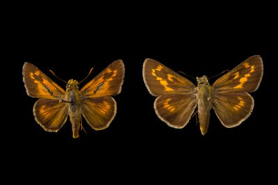 Picture of two extinct rockland skippers (mounted on pins) (Hesperia meskei pinocayo) at the McGuire Center for Lepidoptera and Biodiversity.