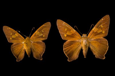 Picture of two Zestos skippers (Epargyreus zestos) at the McGuire Center for Lepidoptera and Biodiversity.