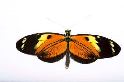 Picture of an Ismenius tiger (Heliconius ismenius tilletti) at the Saint Louis Zoo.