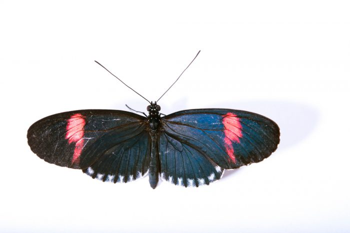 Picture of a piano key postman butterfly (Heliconius melpomene sticheli) at the Saint Louis Zoo.