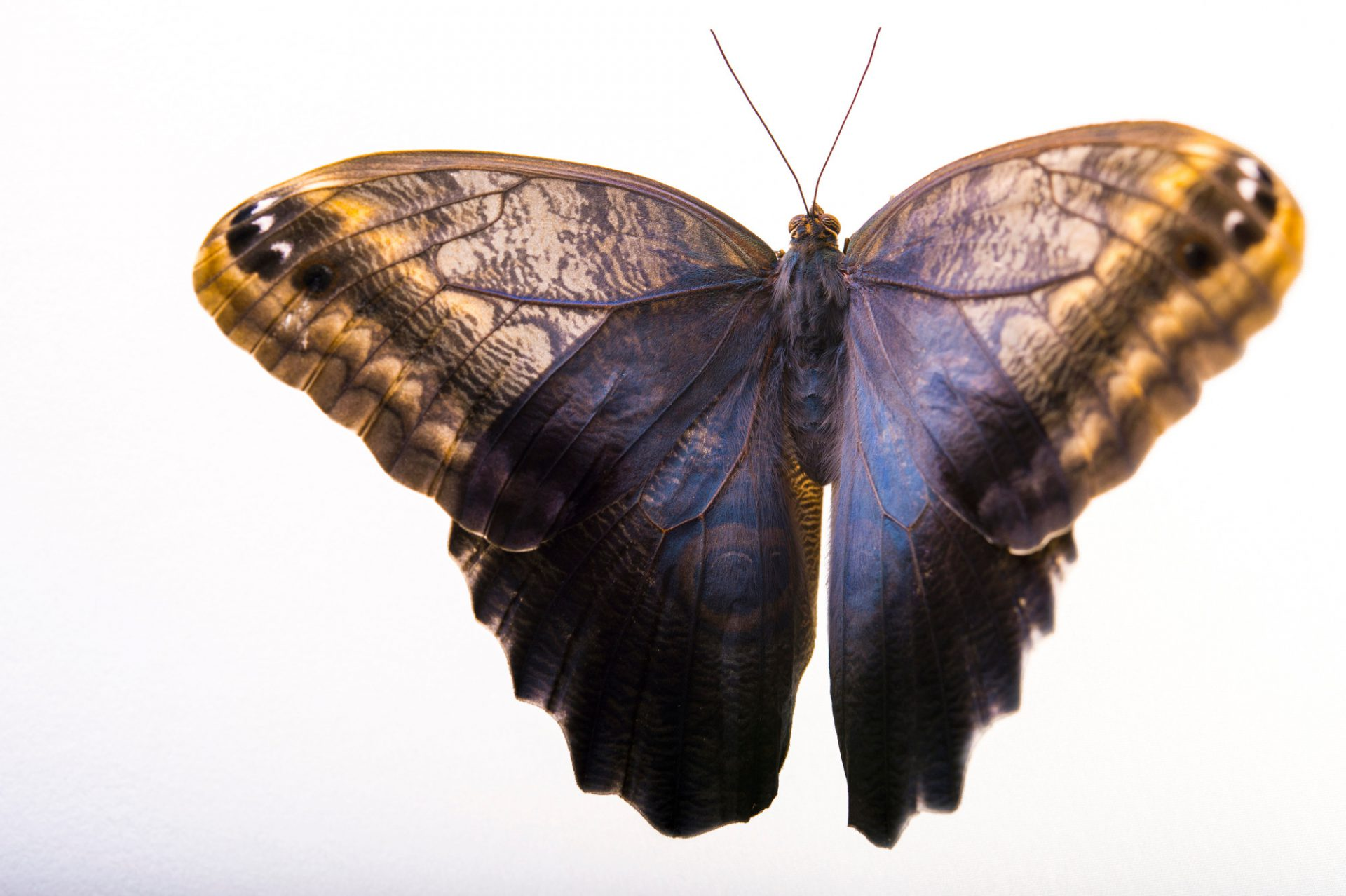 Picture of a Forest giant owl butterfly (Caligo eurilochus) at the Saint Louis Zoo.