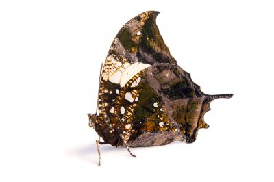 Picture of a Jazzy leafwing (Hypna clytemnestra) at the Saint Louis Zoo.