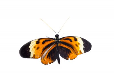 Picture of a numata longwing (Heliconius numata) at the Saint Louis Zoo.