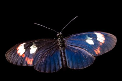 Picture of a Postman butterfly (Heliconius melpomene plesseni) at the Saint Louis Zoo.