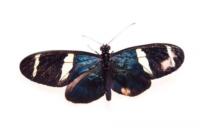 Picture of a sara longwing (Heliconius sara sara) at the Saint Louis Zoo.