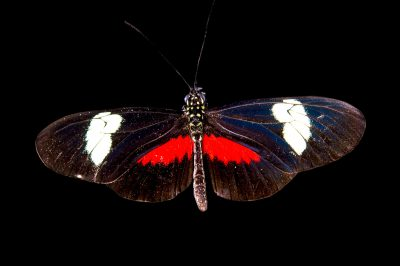 Picture of a red postman (Heliconius erato himera) at the Saint Louis Zoo.