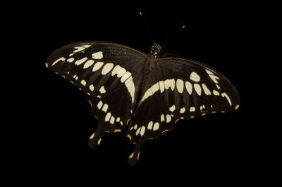 Constantine's Swallowtail (Papilio constantinus) at the Henry Doorly Zoo and Aquarium.