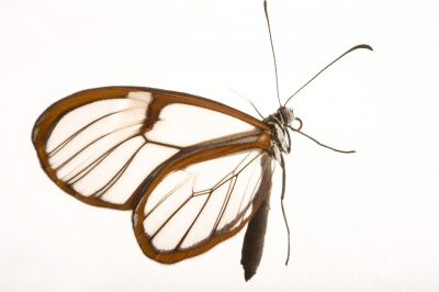 Glasswing or clearwing (Greta oto) at the Henry Doorly Zoo and Aquarium.