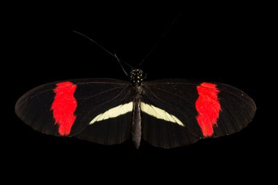 Postman Butterfly (Heliconius melpomene) at the Henry Doorly Zoo and Aquarium.