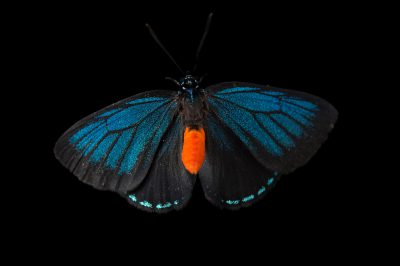 Photo: Atala butterfly or coontie hairstreak (Eumaeus atala) at the McGuire Center of the Florida Museum of Natural History.