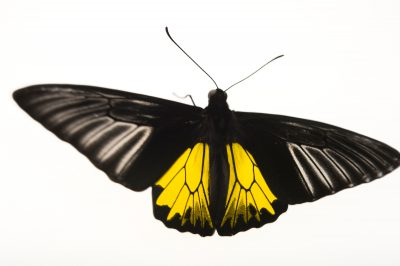 Golden birdwing (Troides helena) at the McGuire Center at the Florida Museum of Natural History.