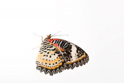 Photo: Leopard lacewing (Cethosia cyane) (in two color phases) at the McGuire Center of the Florida Museum of Natural History.