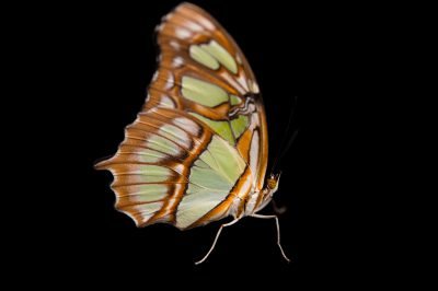 Malachite green butterfly (Siproeta stelenes) at the Florida Museum of Natural History.