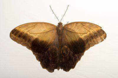 Giant owl butterfly (Caligo memnon memnon) in Gamboa, Panama.