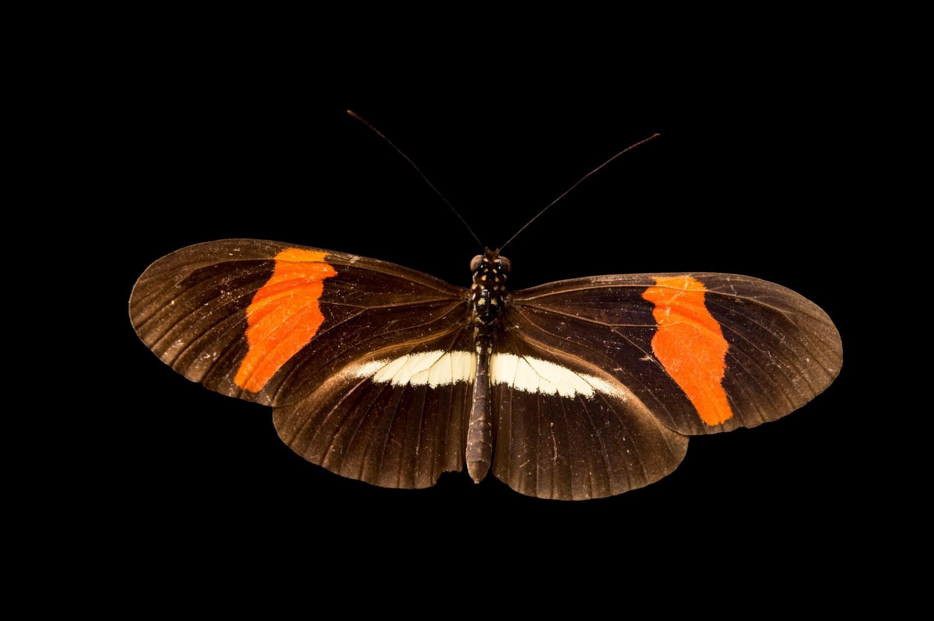Photo: Red postman butterfly (Heliconius erato petiverana) in Gamboa, Panama.
