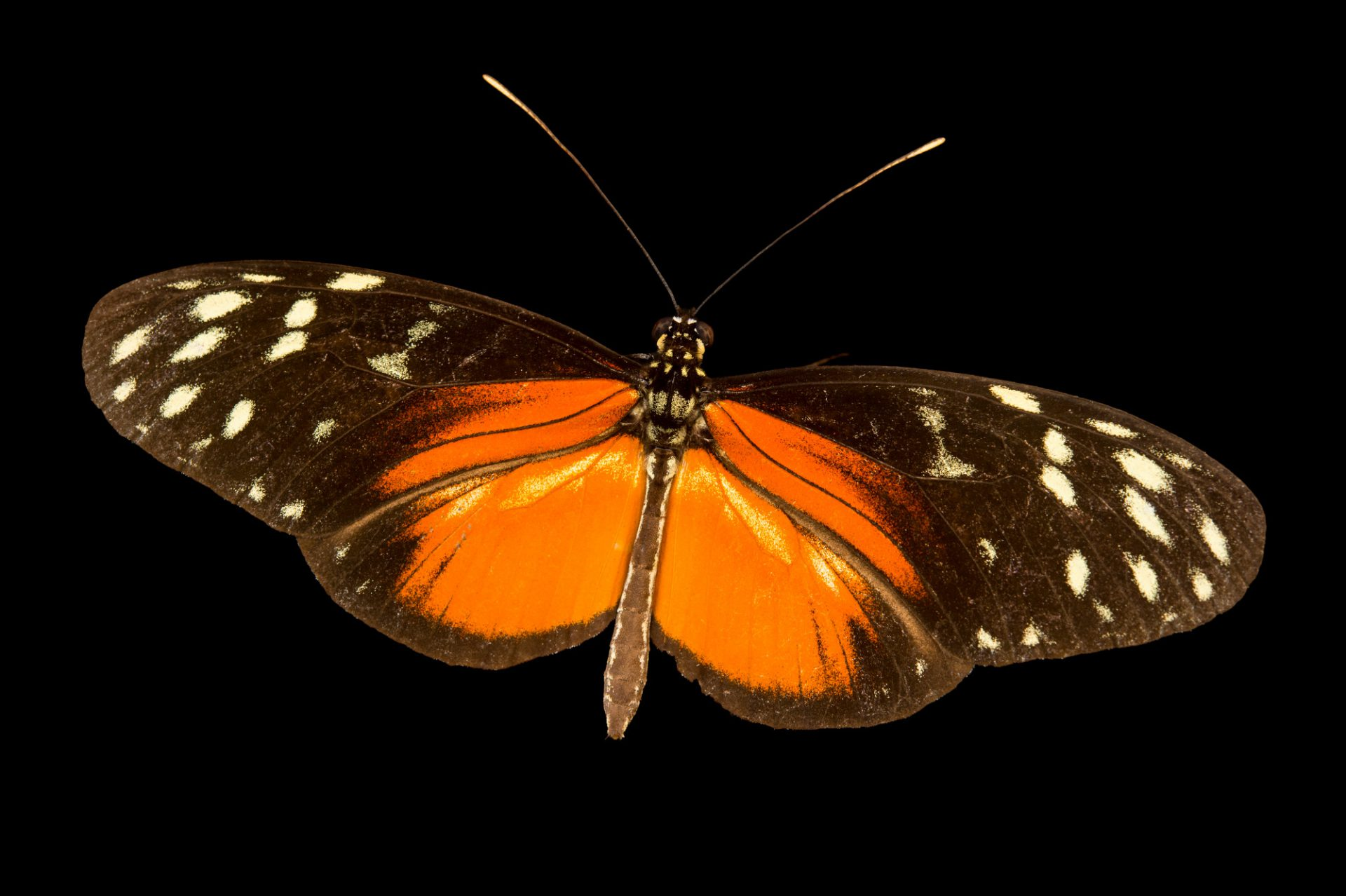 Spotted longwing (Heliconius hecale zuleika) in Gamboa, Panama.