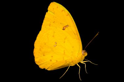 Photo: Orange-barred sulphur (Phoebis philea philea) in Gamboa, Panama.