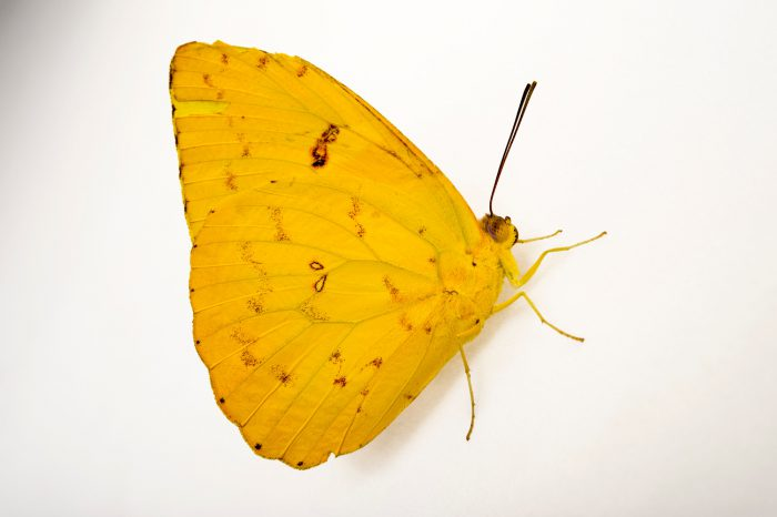 Photo: Orange-barred sulphur (Phoebis philea philea) in Gamboa, Panama.