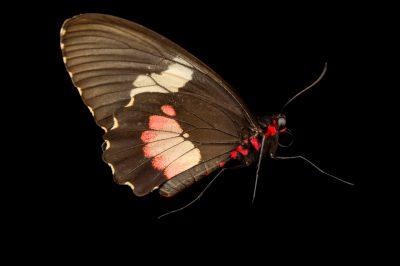 Photo: Ruby-spotted swallowtail (Papilio anchisiades idaeus) in Gamboa, Panama.