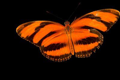 Orange barred tiger (Dryadula phaetusa) in Gamboa, Panama.