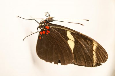 Picture of a sara longwing (Heliconius sara fulgidus) in Gamboa, Panama.