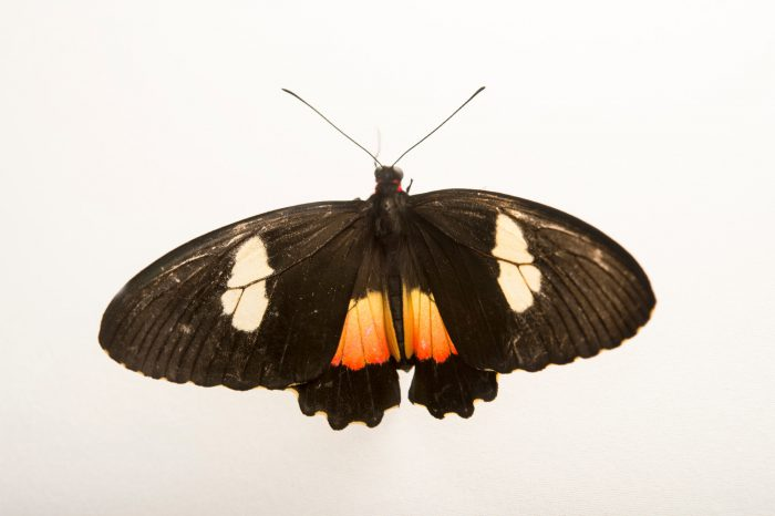 Photo: Ruby-spotted swallowtail (Papilio anchisiades idaeus) in Gamboa, Panama.
