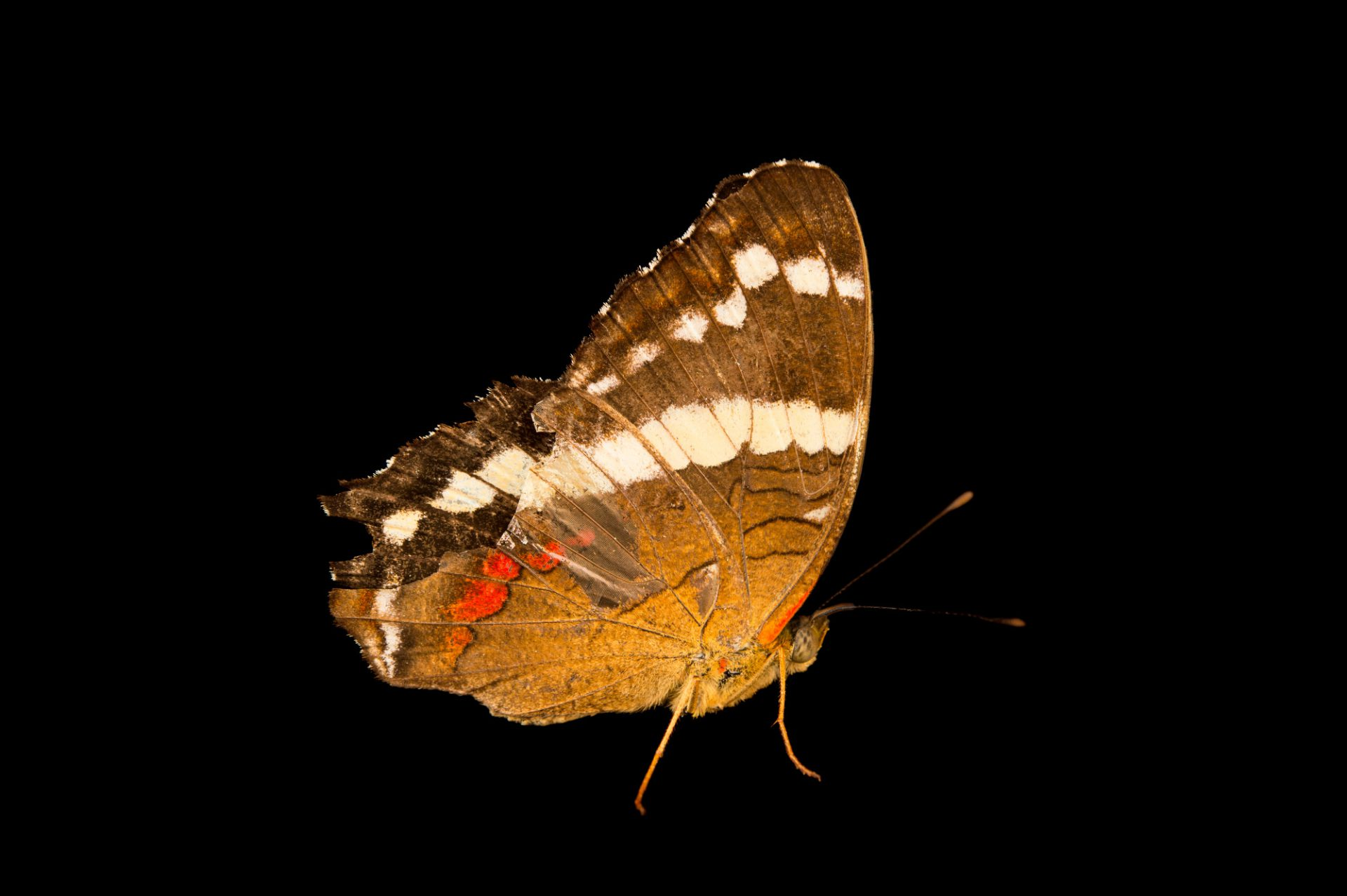 Photo: Banded peacock or fatima (Anartia fatima) in Gamboa, Panama.