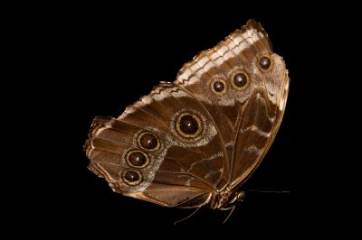 Photo: A tattered Helena morpho butterfly (Morpho helena marinate) in Gamboa, Panama.