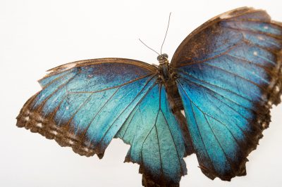 Photo: A tattered Helena morpho butterfly (Morpho helena marinate) in Gamboa, Panama.