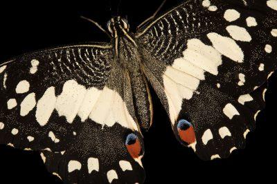 Photo: Lime butterfly, Papilio demoleus malayanus, at Zoo Negara.