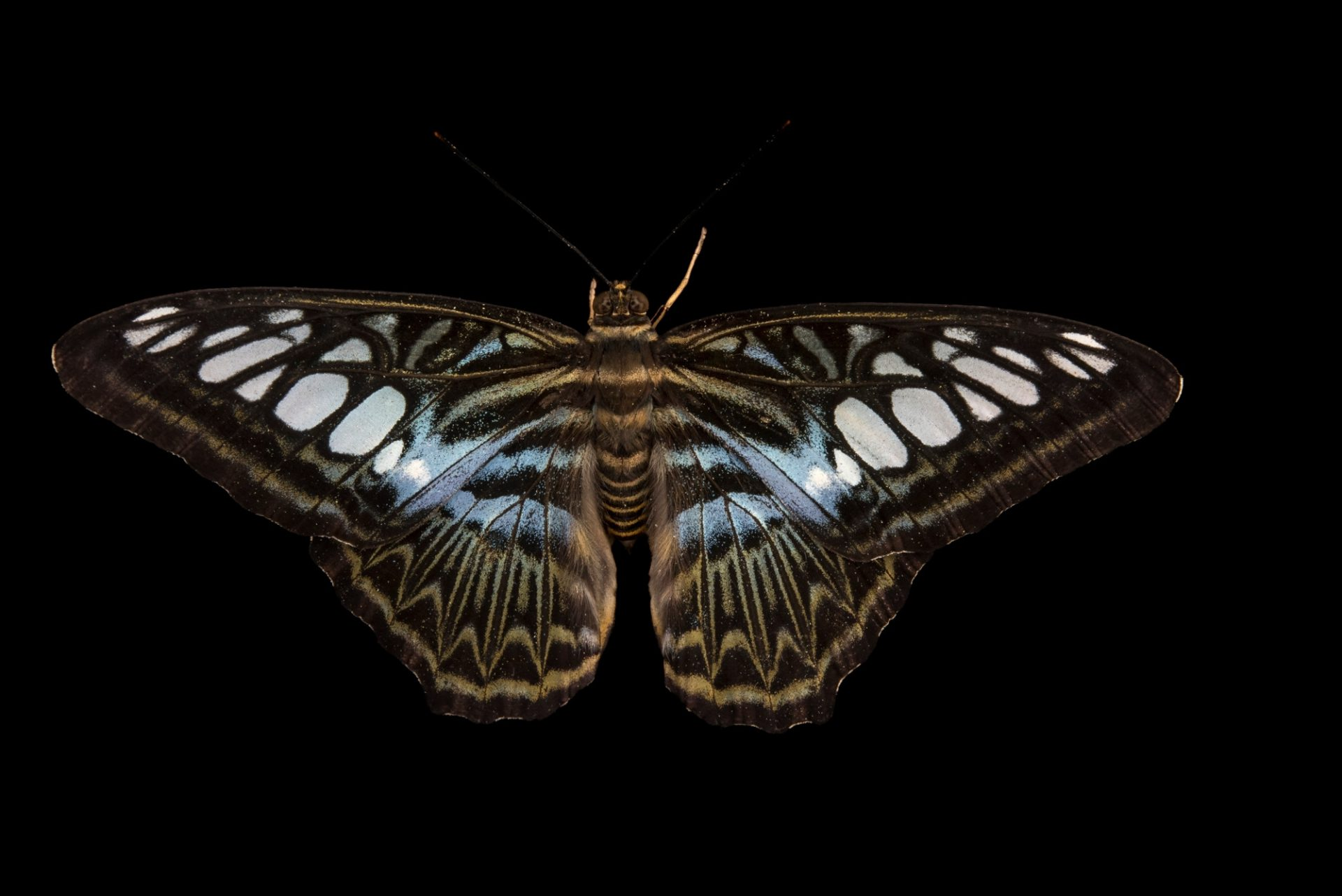 Photo: Blue clipper (Parthenos sylvia lilacina) at Malacca Butterfly and Reptile Sanctuary.