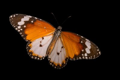 Photo: Plain tiger (Danaus chrysippus) at Malacca Butterfly and Reptile Sanctuary.