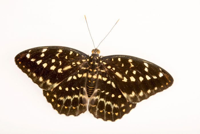 Photo: A female archduke (Lexias pardalis dirteana) at Malacca Butterfly and Reptile Sanctuary.