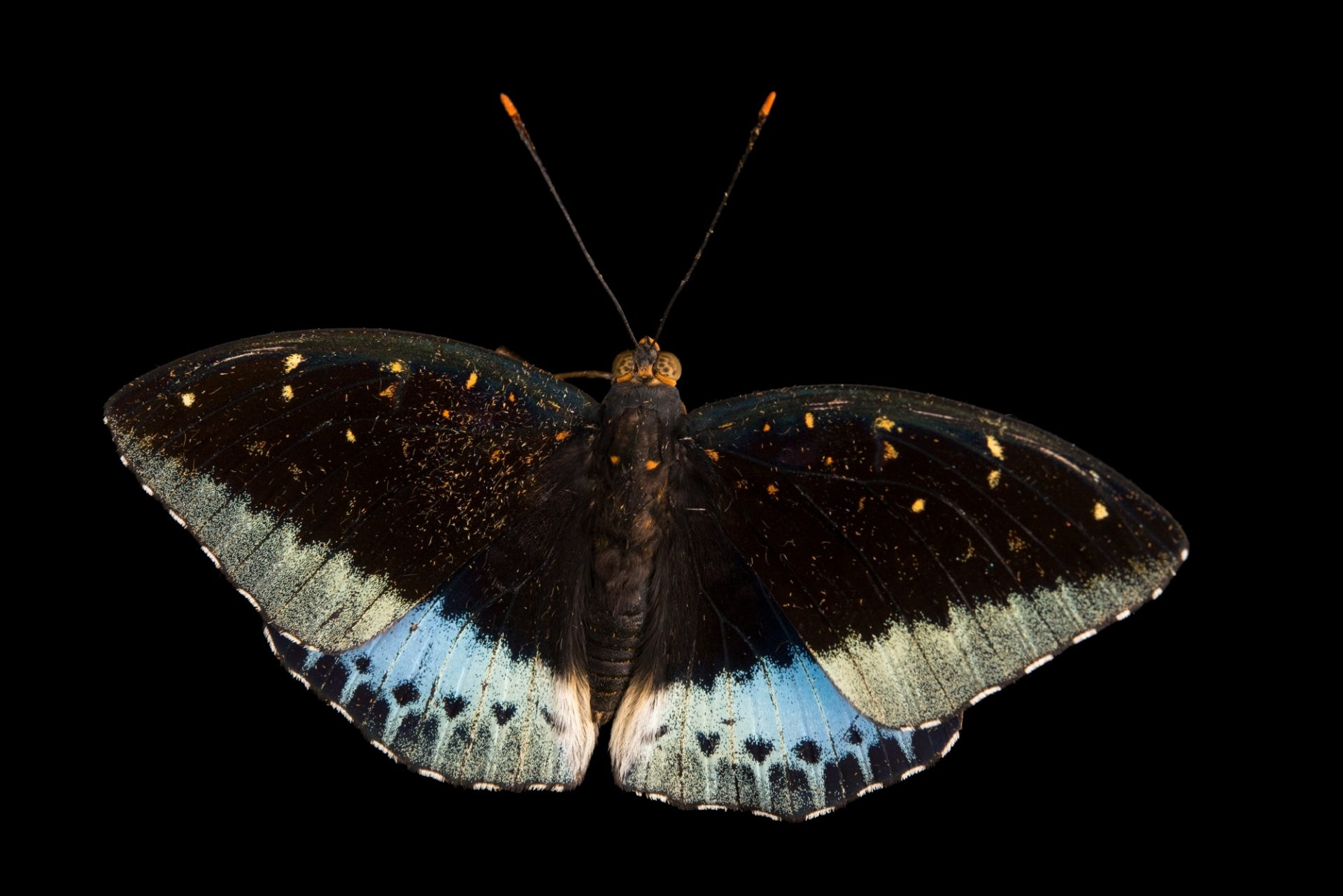 Photo: A male archduke (Lexias pardalis dirteana) at Malacca Butterfly and Reptile Sanctuary.