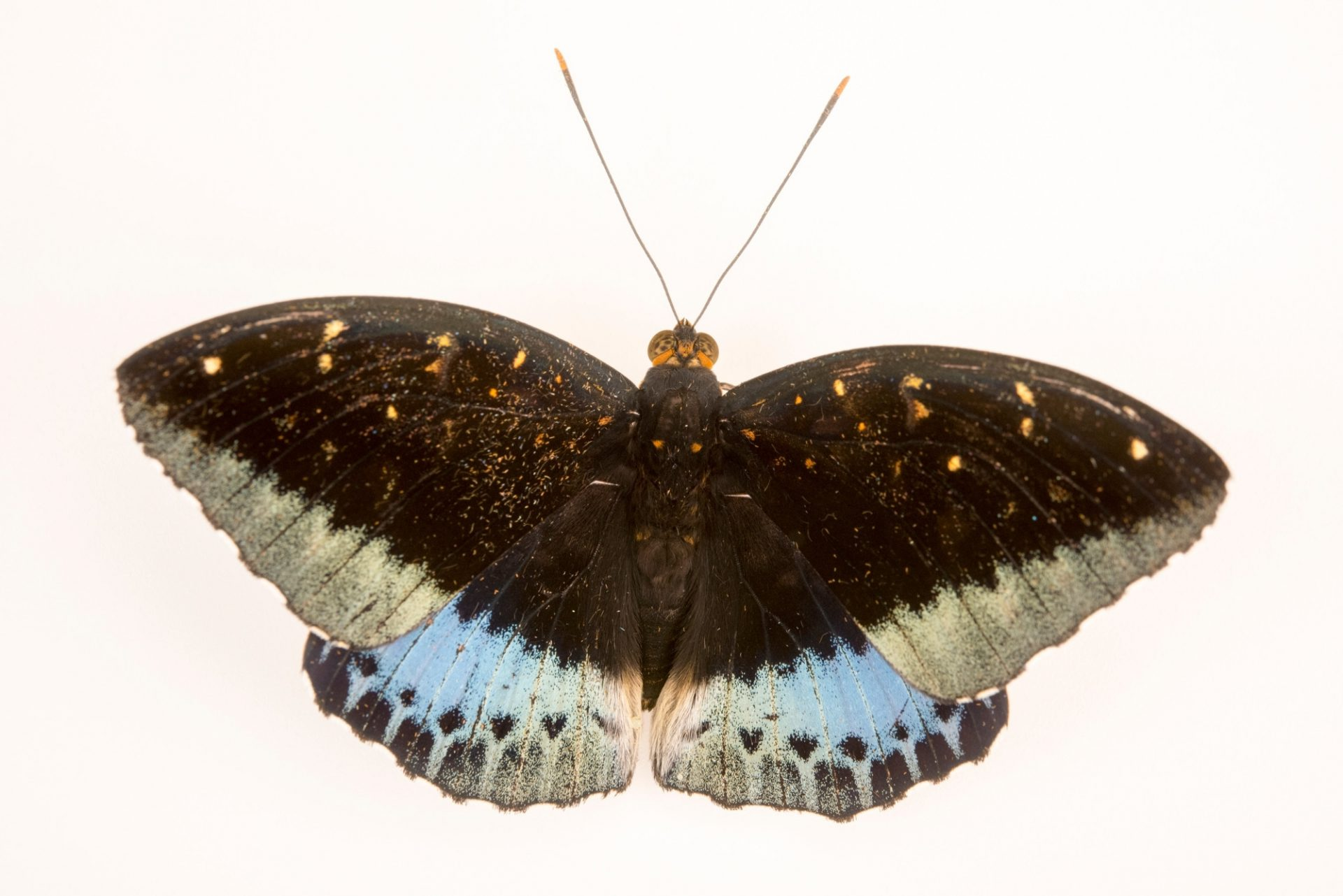 Photo: Male archduke (Lexias pardalis dirteana) at Malacca Butterfly and Reptile Sanctuary.
