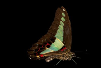 Photo: Common bluebottle (Graphium sarpedon luctatius) at Malacca Butterfly and Reptile Sanctuary.