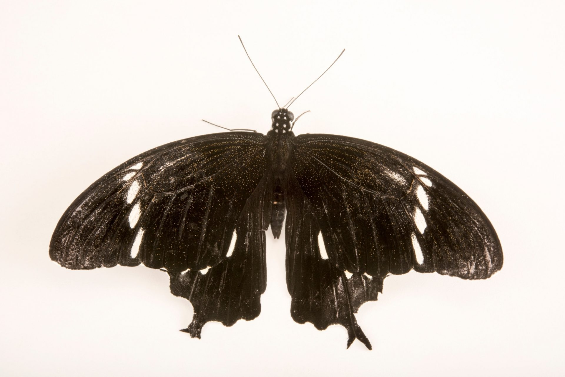 Photo: Black and white Helen (Papilio nephelus sunatus) at Malacca Butterfly and Reptile Sanctuary.