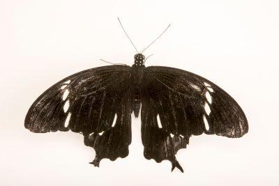 Photo: Black and white Helen (Papilio nephelus sunatus) at Malacca Butterfly and Reptile Sanctuary.