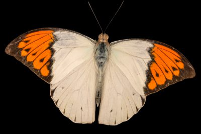 Photo: Great orange-tip (Hebomoia glaucippe aturia) at Malacca Butterfly and Reptile Sanctuary.