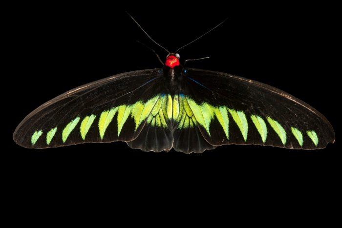Photo: Rajah Brooke birdwing (Trogonoptera brookiana albescens) at Malacca Butterfly and Reptile Sanctuary.