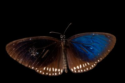 Photo: Long branded blue crow butterfly (Euploea algea) at ACCB in Siem Reap, Cambodia.