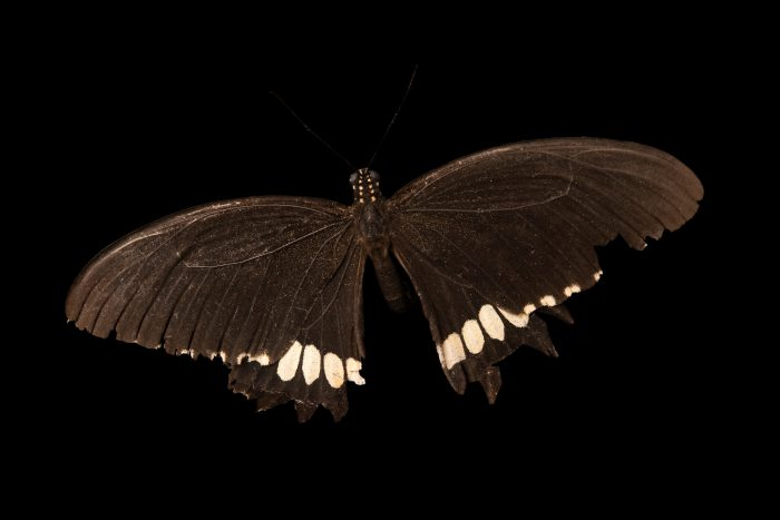 Photo: The Common Mormon (Papilio polytes) at ACCB in Siem Reap, Cambodia.