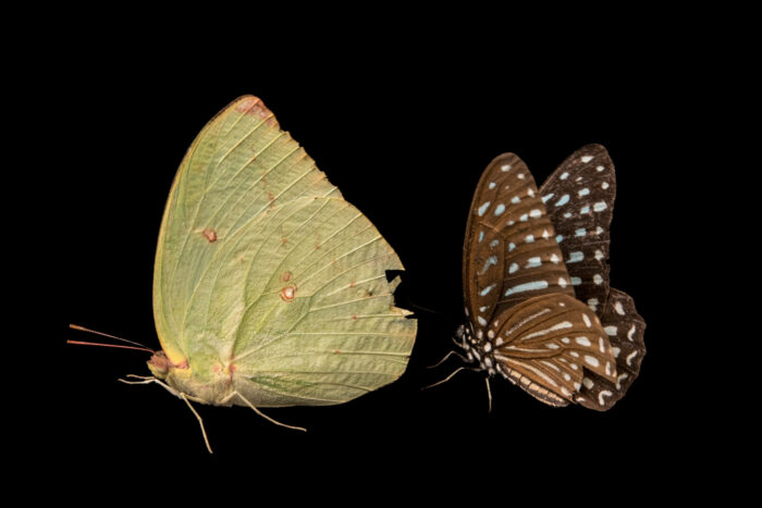Photo: Two unidentified butterflies at ACCB in Siem Reap, Cambodia.