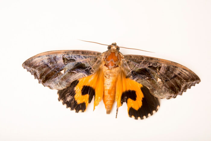 Photo: A unidentified moth at ACCB in Siem Reap, Cambodia.