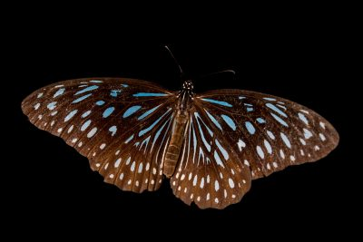Photo: The blue glassy tiger (Ideopsis vulgaris contigua) at ACCB in Siem Reap, Cambodia.
