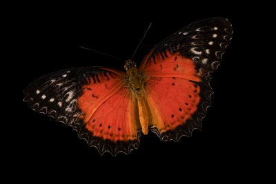 Photo: Red lacewing (Cethosia biblis) photographed at Butterfly Pavilion in Westminster, Colorado.