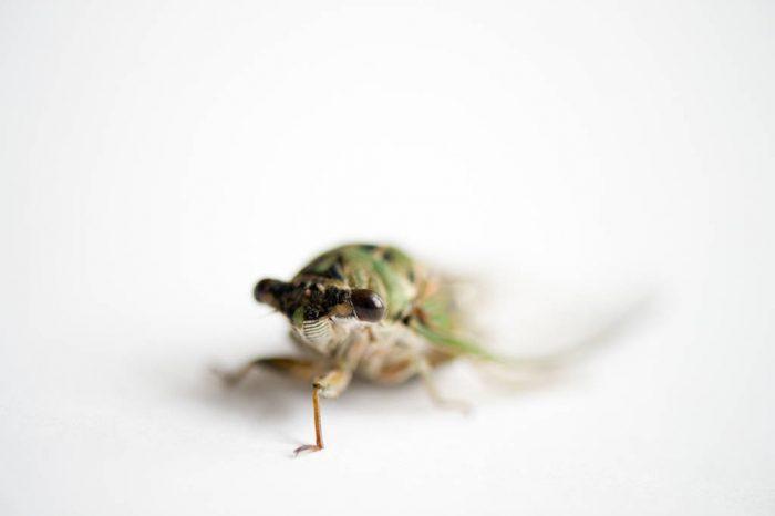 A scissor grinder cicada (Neotibicen pruinosus) in Lincoln, NE.